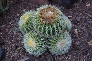 kcc cacti
