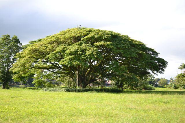 Hilo tree
