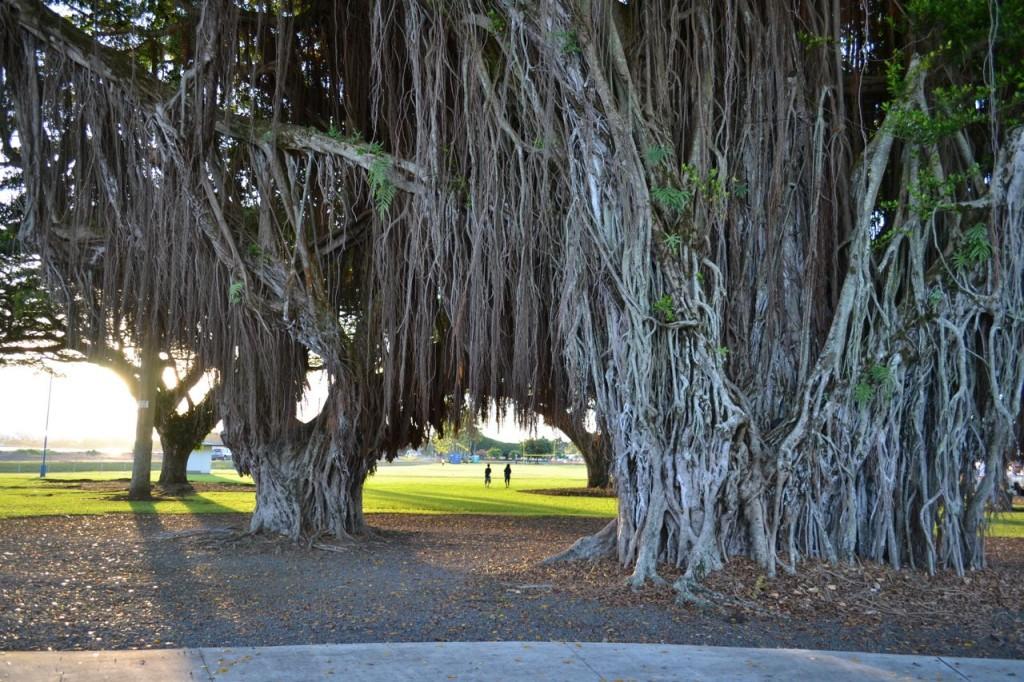 hilo open tree
