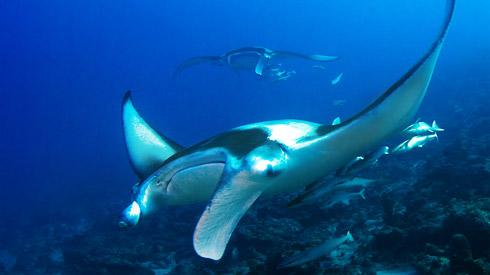 manta_manta-rays-swimming-01